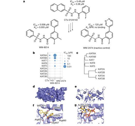 KAT6A and KAT6B proteins