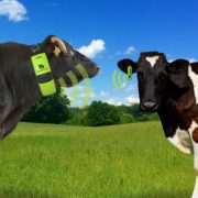 WearablesMounted on the cow ears
